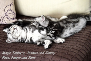 shorthair tabby cats 19 Joshua-Jimmy