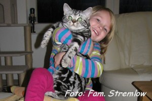 shorthair tabby cats 13 Kosimo