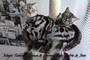 shorthair tabby cats 14 Magic Tabbys Jimmy-Joshua