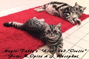 shorthair tabby cats 1 Magic Tabbys Kleo-Orelie