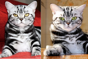 shorthair tabby cats11 Magic Tabbys Masah-Kuwait