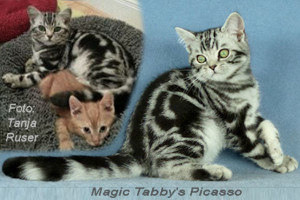 shorthair tabby cats 4 Magic Tabbys Picasso