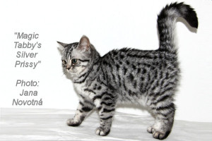 shorthair tabby cats 6 Magic Tabbys Silver Prissy