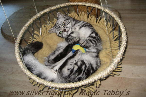 Magic Tabbys Silver Xenia-3247