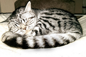 Silver tabby spotted Morris